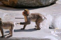 Trois singes dans le zoo image stock