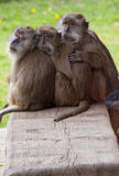 Trois singes de caresse Photographie stock libre de droits