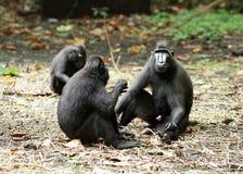Trois singes de macaque dans Sulawesi photo stock
