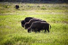 Trois taureaux énormes de buffles de bisons se tenant sur une faune de pré photo stock