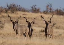 Trois taureaux adultes de kudu photographie stock libre de droits