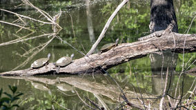 Trois Texas River Cooter Turtles et un serpent d'eau de dos en forme de losange se dorant au soleil Images stock
