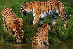 Trois tigres sibériens photo stock