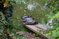 Trois tortues dans un étang Photos stock