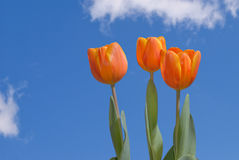 Trois tulipes Photo stock