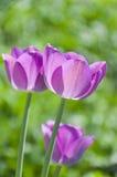 Trois tulipes Photos stock