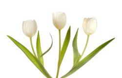 Trois tulipes blanches Photo libre de droits