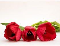 Trois tulipes dans une rangée photographie stock libre de droits