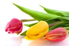 Trois tulipes de couleurs Photographie stock libre de droits