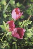 Trois tulipes de floraison rouges dans la fin de bedflower vers le haut du foyer sélectif Images stock
