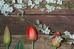 Trois tulipes et branche se développante de cerise Photographie stock libre de droits