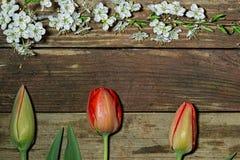 Trois tulipes et branche se développante de cerise Photos libres de droits