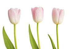 Trois tulipes roses Photo stock