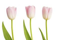 Trois tulipes roses Photo stock