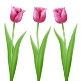 Trois tulipes roses de vecteur de bande dessinée Photo libre de droits