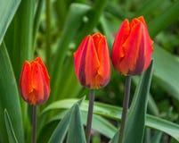 Trois tulipes rouges lumineuses sur un plan rapproché vert de fond photos stock