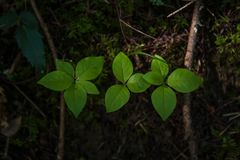 Trois usines leaved vertes dans une rangée en mousse et saleté avec les branches tombées Photographie stock libre de droits