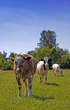 Trois vaches Images stock