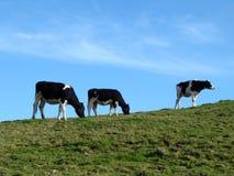 Trois vaches Images libres de droits