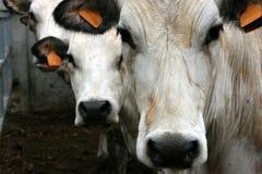Trois vaches Photographie stock