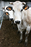 Trois vaches Photos libres de droits