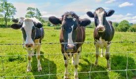 Trois vaches derrière une frontière de sécurité de barbelé. Images stock