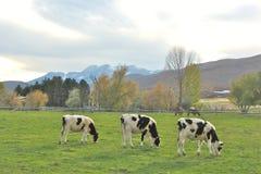 Trois vaches heureuses dans un endroit heureux Image libre de droits