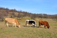 Trois vaches à la ferme Image libre de droits