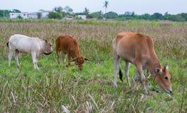 Trois vaches mangeant l'herbe Photographie stock libre de droits
