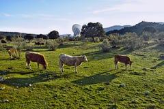 Trois vaches marchant par le champ et une grande antenne à l'arrière-plan Images stock