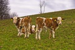 Trois veaux très jeunes sur un pré à l'automne Photos libres de droits