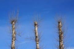 Trois vieux arbres de peuplier après élagage total toutes les branches photographie stock libre de droits
