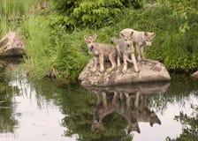 Trois Wolf Puppies avec la réflexion dans le lac Image libre de droits