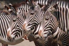 Trois zèbres Photos libres de droits