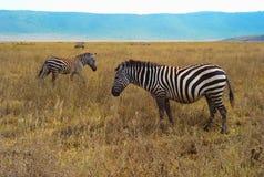 Trois zèbres dans la prairie dans l'Afrique de l'Est photos stock