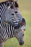 Trois zèbres dans la savane Image libre de droits