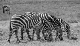 Trois zèbres dans le Serengeti, Tanzanie Image stock
