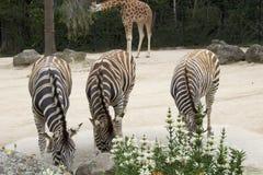 Trois zèbres et une girafe Images libres de droits