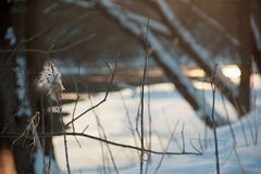 Trojeść w zimie Zdjęcie Royalty Free