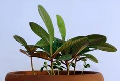 Trojeści roślina zdjęcia stock