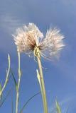 Trojeści wysuszona roślina, obraz stock