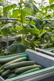Trolley with ripe harvested cucumbers from close. Closeup of harvested ripe cucumbers in a trolley in front of climbing cucumber plants with yellow colored Royalty Free Stock Photos