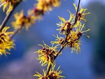 Trollhassel - oavkortad blom för Hamamelis Royaltyfri Foto
