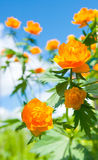 Trollius Against the sky Royalty Free Stock Photo
