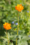 Trollius asiaticus Royalty Free Stock Photo