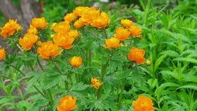 Trollius asiaticus orange flowers under rain stock video footage