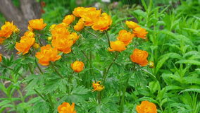 Trollius asiaticus orange flowers under rain stock footage