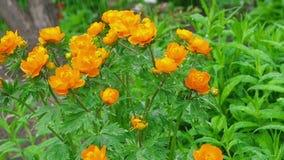 Trollius asiaticus orange flowers under rain stock video