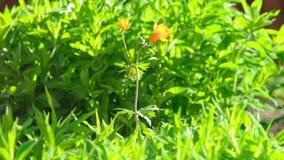 Trollius asiaticus pomarańcze kwiaty zbiory wideo