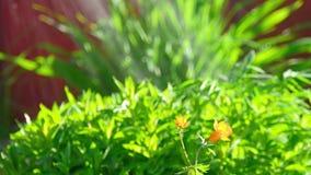 Trollius asiaticus pomarańcze kwiaty zbiory